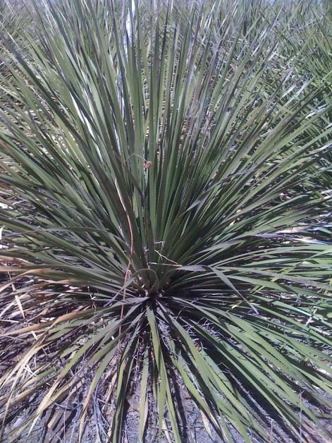 Planta de sotol. Foto © Cortesía de La Sotolera