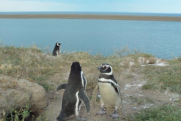 Pingüinos de Magallanes. Foto © Patrick Mreyen