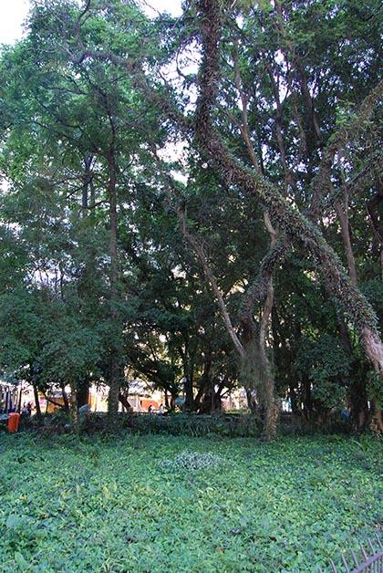 Árboles de la Praça da Alfândega. Foto © Silvia Lucero