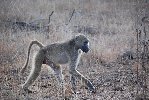 Estos babuinos son tremendos. Foto © Patrick Mreyen