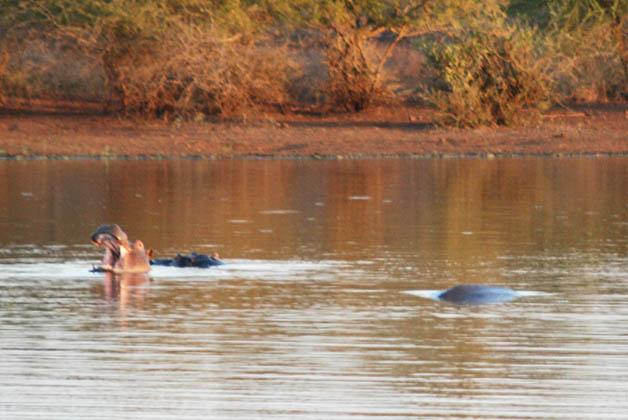Hipopótamos en el lago. Foto © Patrick Mreyen