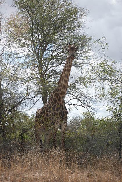 Esta fue la jirafa que nos sorprendió, hermosa. Foto © Silvia Lucero