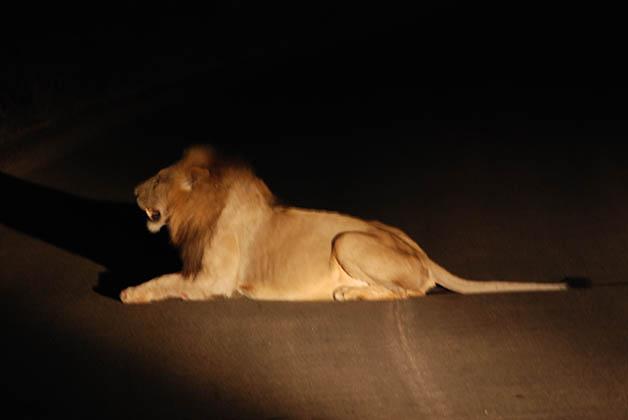 Primer león que vimos en el Parque Nacional Kruger. Foto © Patrick Mreyen