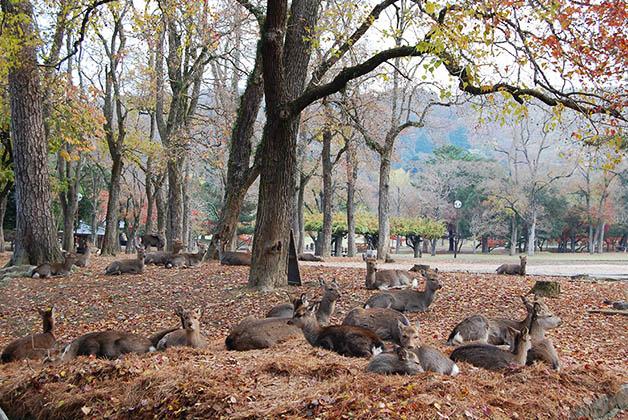 Ciervos sika en Nara. Foto © Silvia Lucero