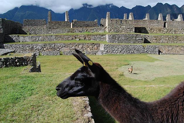 'Photobombed' por una llama en Machu Picchu. Foto © Silvia Lucero