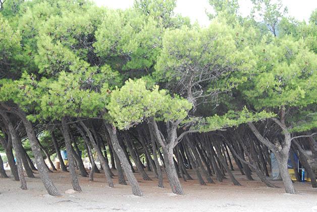 Bosque en la playa de Bol. Foto © Silvia Lucero