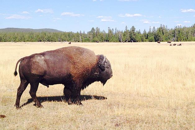 Bisonte en Yellowstone. Foto © Silvia Lucero