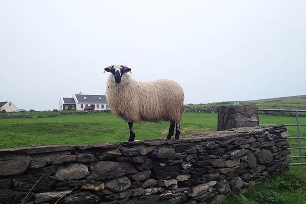 Las ovejas nunca pueden faltar en los paisajes de Irlanda. Foto © Patrick Mreyen