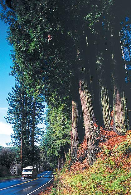 Avenida de los Gigantes. Foto de Carrie Grant: Cortesía de Humboldt County CVB, redwoods.info.
