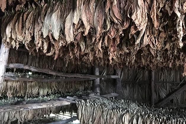 Hojas de tabaco en la Finca de Manuel. Foto © Silvia Lucero
