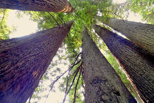 Los gigantes árboles de secuoya. Foto de Pixabay