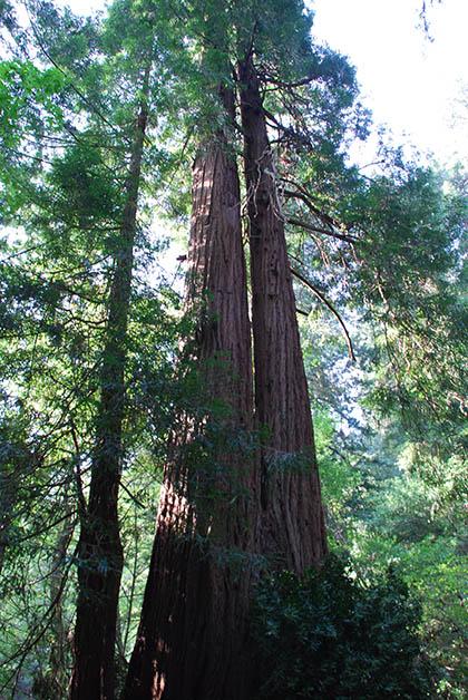 Bosque Muir, donde encuentras árboles de hasta 150 metros de altura. Foto © Patrick Mreyen